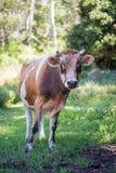 检查照相机的好奇有角的母牛 库存照片