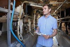 检查牛的农夫在挤奶期间 库存照片