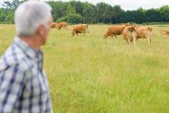 检查牧群牛的农夫 免版税库存图片