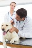 检查狗的耳朵的兽医 免版税库存照片