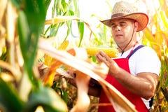 检查玉米的质量的农夫播种 免版税图库摄影