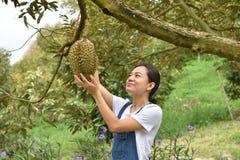 检查留连果树的亚裔农厂人民在果树园 免版税库存图片