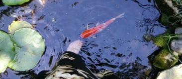 检查脚的Koi鱼在池塘 免版税库存照片