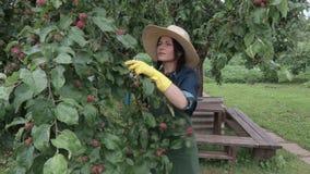 检查苹果树的女性花匠与新的苹果 股票视频