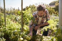 检查西红柿的人生长在分配地段 免版税库存照片