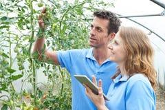 检查西红柿的农业工作者使用数字式片剂 免版税图库摄影