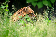 检查豹猫 库存图片