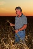 检查麦子的硬粒小麦农夫 免版税库存图片