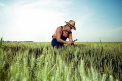 检查麦子的质量的农夫与放大镜 库存图片