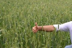 检查他豪华的绿色麦田的健康农夫 免版税库存照片