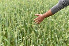 检查他豪华的绿色麦田的健康农夫 库存图片