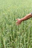检查他豪华的绿色麦田的健康农夫 库存照片