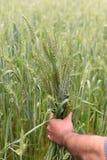 检查他豪华的绿色麦田的健康农夫 免版税库存图片