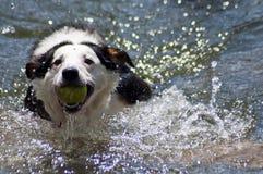检索水的狗 免版税库存照片