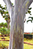 棉兰老岛产树胶之树(玉树deglupta) 库存照片
