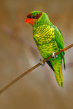 棉兰老岛lorikeet或阿波火山lorikeet, Trichoglossus johnstoniae,绿色和红色鹦鹉坐在分支的,明白棕色森林 免版税库存照片
