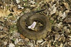 棉口蛇威胁显示警告 免版税库存照片
