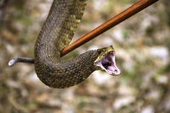 棉口蛇显示 图库摄影