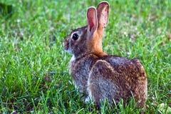 棉尾兔东部兔子 免版税库存照片