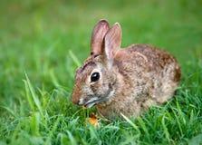 棉尾兔吃红萝卜的小兔 库存照片