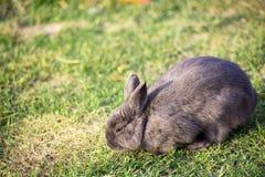 棉尾兔吃草的小兔在庭院里 库存照片