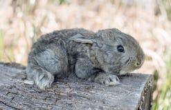 棉尾兔吃草的小兔 免版税图库摄影