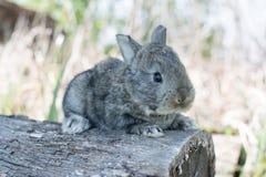棉尾兔吃草的小兔 库存图片
