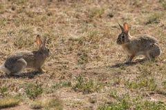 棉尾兔对峙 免版税库存图片
