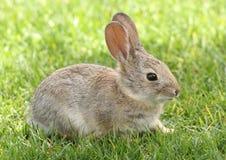 棉尾兔沙漠兔子年轻人 库存图片