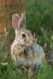 棉尾兔沙漠兔子 免版税库存照片