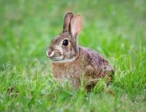 棉尾兔用力嚼草的小兔 库存图片