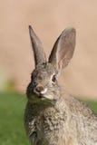 棉尾兔画象 库存照片