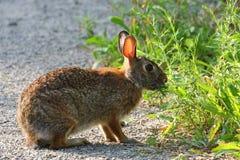 棉尾巴兔子北美洲兔类 免版税库存图片