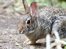 棉尾巴兔子特写镜头 库存图片