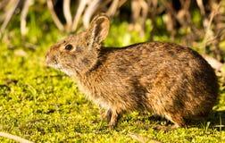 棉尾巴兔子 免版税库存照片