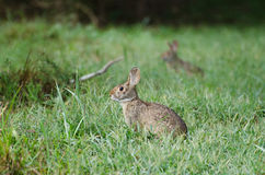 棉尾巴兔子在草甸 图库摄影