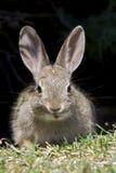 棉尾巴兔子年轻人 库存图片