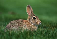 棉尾巴兔子 图库摄影