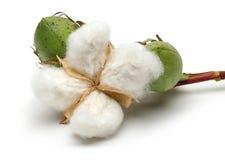 棉树和绿色棉花蒴 库存图片