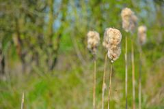 棉树在春天 免版税库存照片