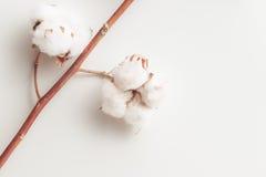 棉树在白色背景的花分支 免版税图库摄影