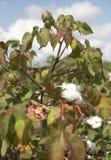 棉树生长高南方农业美国 免版税图库摄影