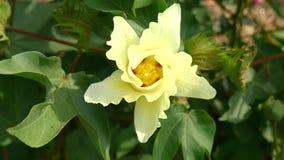 棉树的领域有未成熟的蒴和花的与叶子(4K) 影视素材