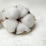 棉树-花,宏指令 免版税库存图片