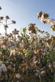 棉树 免版税库存图片