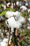 棉树 免版税图库摄影
