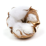 棉树 库存照片