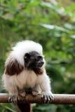 棉花俄狄浦斯saguinus绢毛猴顶层 免版税库存照片