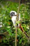 棉花俄狄浦斯saguinus singapor绢毛猴顶层 图库摄影