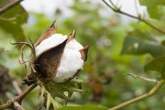 棉花农场 免版税库存图片